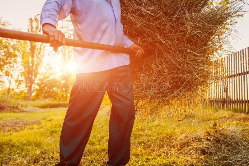 L'uomo senior dell'agricoltore riunisce il fieno con la forca al tramonto in campagna Duri lavori Primo piano immagine stock