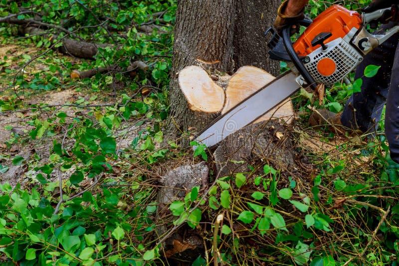 L'uomo taglia l'albero con la motosega, concetto di disboscamento fotografie stock