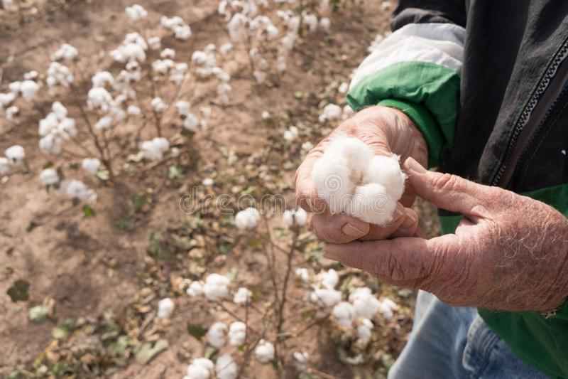 L'uomo tiene il campo Texas Agriculture Cash Crop dell'azienda agricola della capsula del cotone immagine stock libera da diritti