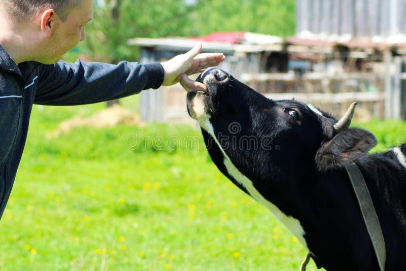 L'uomo tocca il naso del ` s della mucca fotografia stock libera da diritti