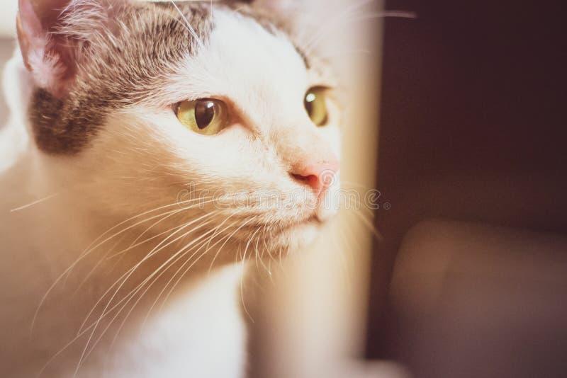 L'upt étroit de chat noir et blanc curieux de Ca font face au beau regard jaune de yeux Verticale mignonne de chaton photos libres de droits