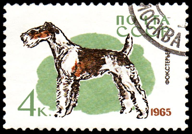 L'URSS - CIRCA 1965: il francobollo, stampato in URSS, mostra un cane del fox terrier, la serie di caccia ed i cani di servizio fotografia stock