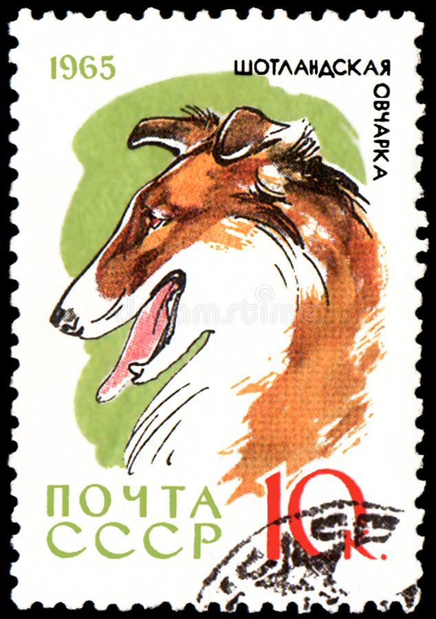L'URSS - CIRCA 1965: il francobollo, stampato in URSS, mostra un cane delle collie, la serie di caccia ed i cani di servizio fotografia stock libera da diritti
