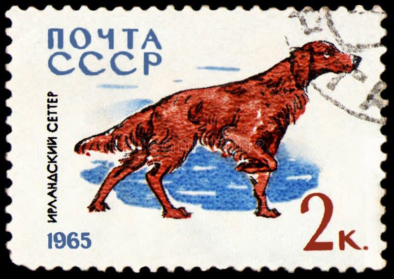 L'URSS - CIRCA 1965: il francobollo, stampato in URSS, mostra un setter Irlandese, la serie di caccia ed i cani di servizio fotografia stock