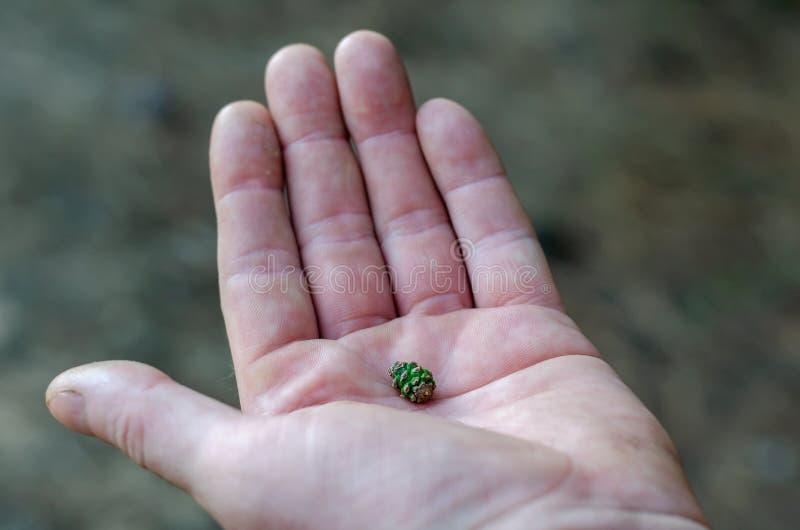 L'urto verde minuscolo naturale si trova nella palma della vostra mano Macro Fuoco selettivo molle immagine stock libera da diritti