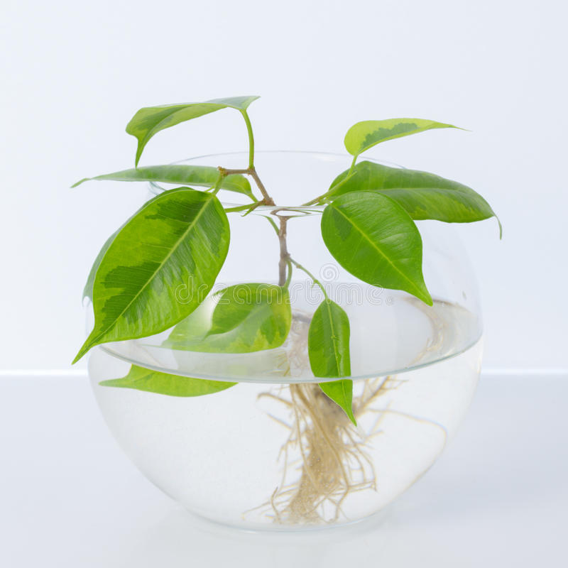 L'usine avec des racines est dans le pot en verre, vase Sur un fond blanc images stock