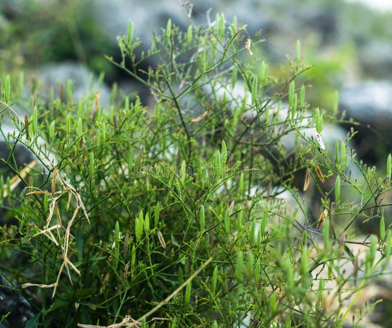 L'usine de paniculata d'Andrographis, a un goût très amer qui est connu comme roi d'amer, antivirus d'usine d'herbe Foyer s?lecti photo libre de droits