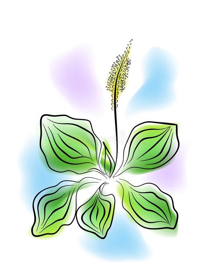 L'usine de plantain illustration stock