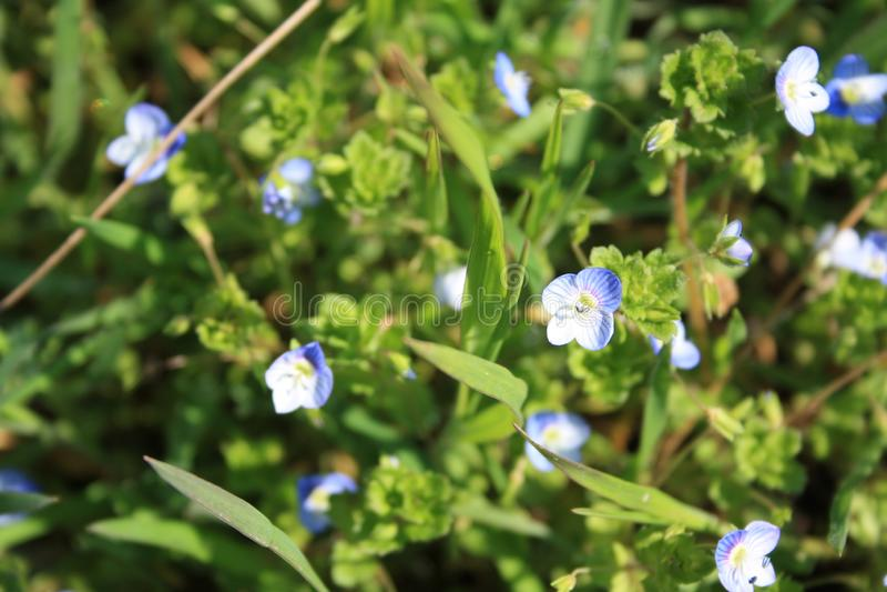 L'usine de Veronica a les fleurs bleues profondes avec une corolle quatre-lobée et les tiges qui sont velues seulement le long de photos stock