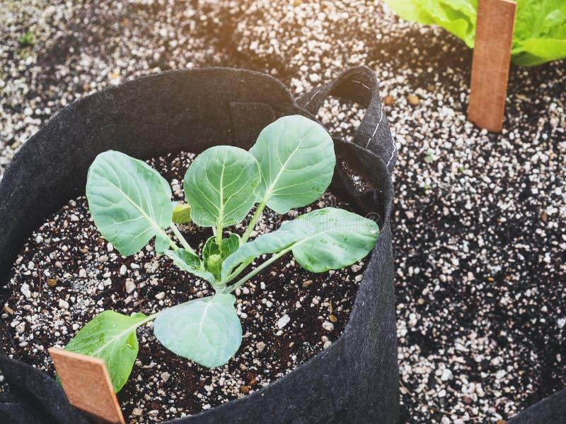 L'usine en graine de pot cultivent le légume organique de jardinage de maison photo libre de droits