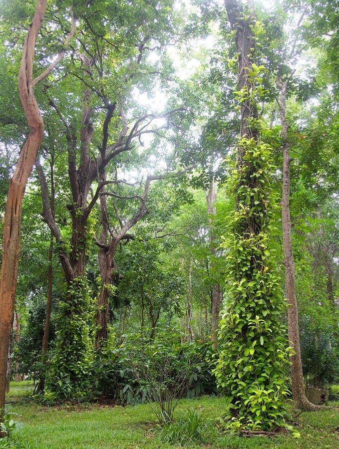 L'usine tropicale typique de jungle avec le vert part sous la lumière du soleil grimpant et couvrant au grand arbre en nature photographie stock libre de droits