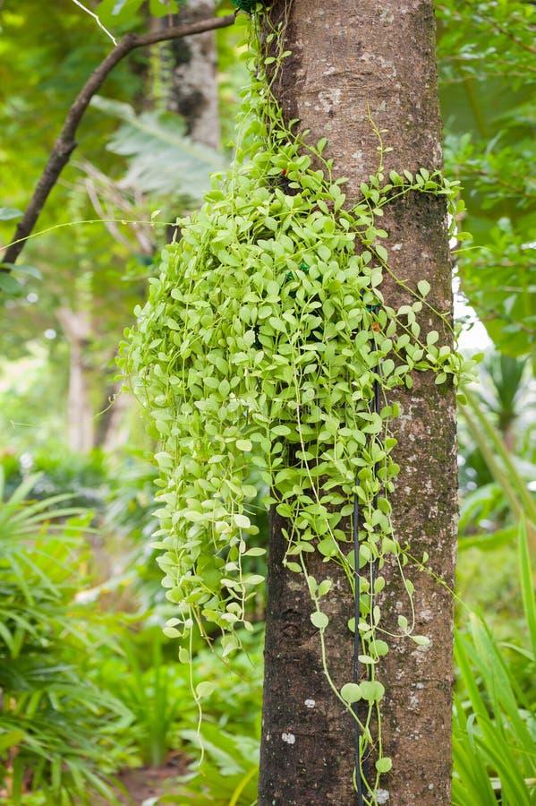 l 39 usine verte de plante grimpante sur un arbre photo stock image du normal tendrils 45084546. Black Bedroom Furniture Sets. Home Design Ideas
