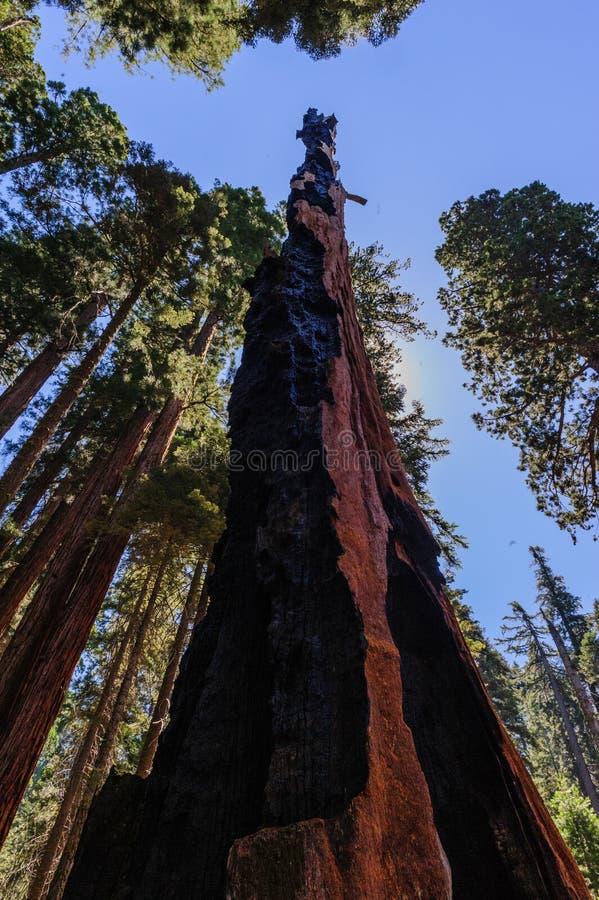 L'ustione sfregia su un albero della sequoia gigante immagine stock libera da diritti