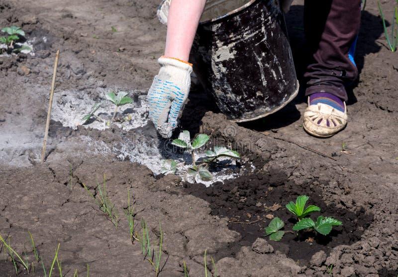 L'utilisation de la cendre en bois pour l'installation de transformation pousse dans le secteur de jardin photo libre de droits