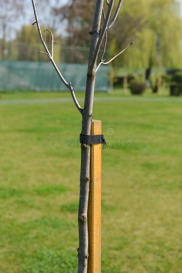 L'utilisation du bois comme défenseur d'arbre contre le vent, arbre est liée à t photos libres de droits
