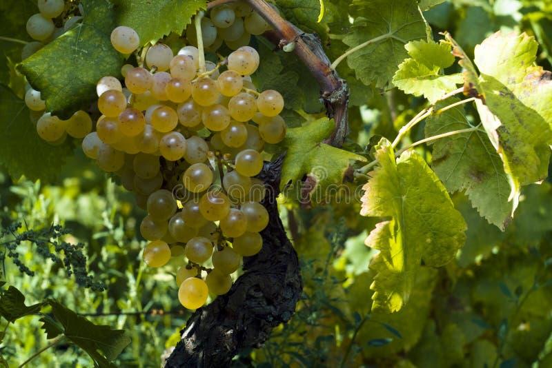 L'uva bianca organica (Vitis vinifera) immagini stock libere da diritti