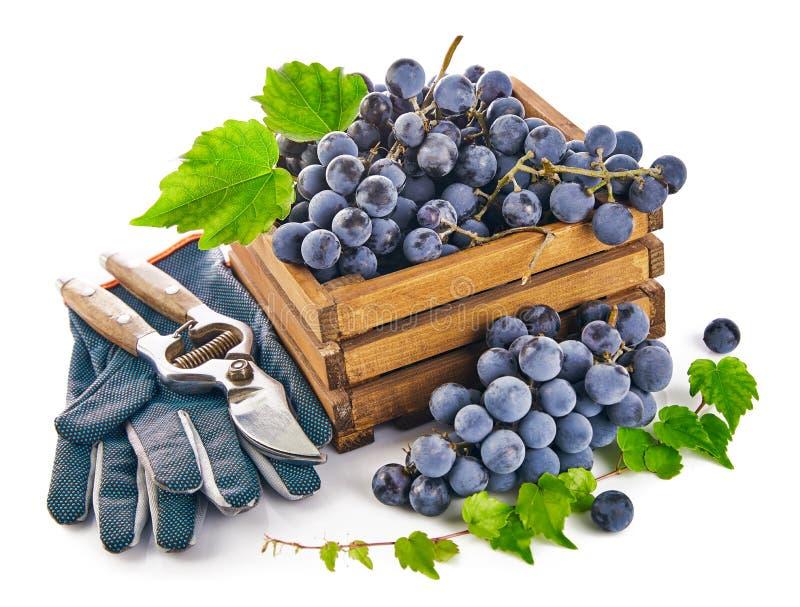 L'uva blu in scatola di legno con il guanto di natura morta del pruner della vite si inverdisce la foglia, su fondo bianco fotografia stock libera da diritti