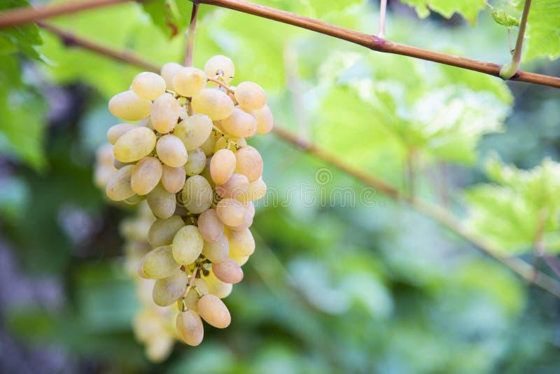 L'uva di grande uva bianca appende su una vite nel giardino all'aperto con una luce calda piacevole fotografie stock