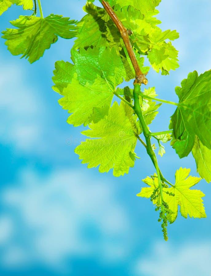 L'uva fresca lascia il bordo immagini stock