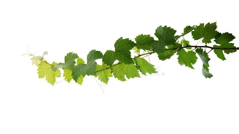 L'uva lascia il ramo della vite con i viticci isolati su fondo bianco, percorso di ritaglio incluso immagine stock