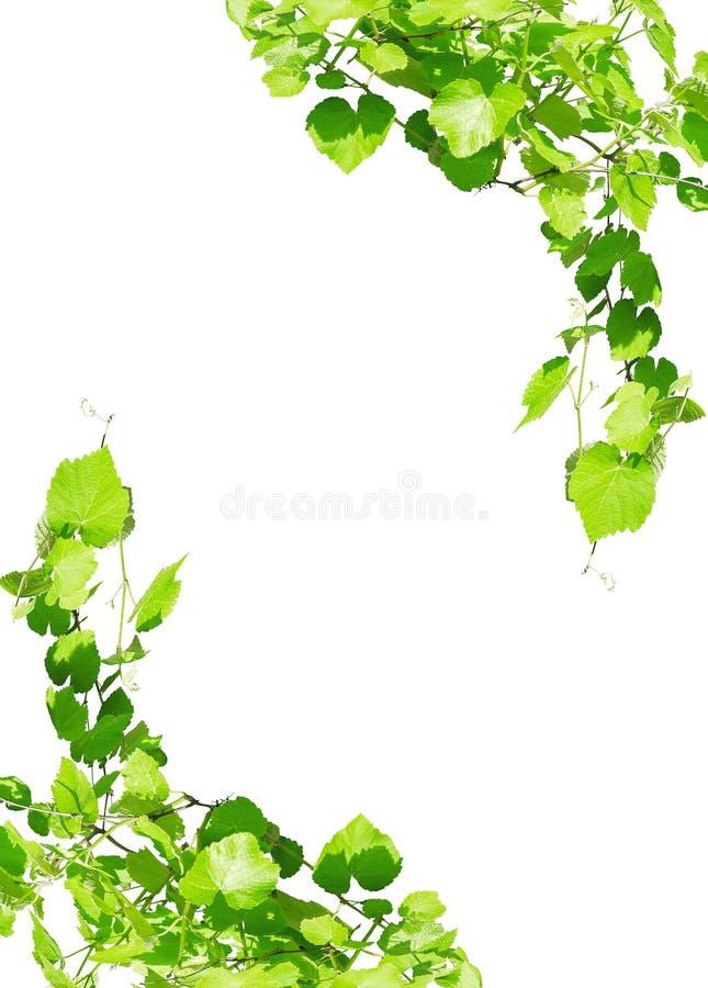L'uva lascia la struttura isolata su bianco fotografie stock libere da diritti