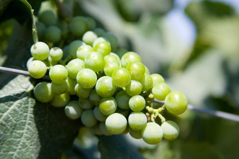 L'uva verde si chiude in su fotografia stock libera da diritti