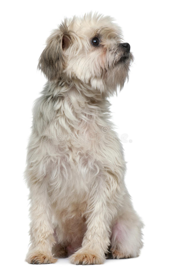 Free Löwchen Or Petit Chien Lion, 3 Years Old Royalty Free Stock Image - 18990336