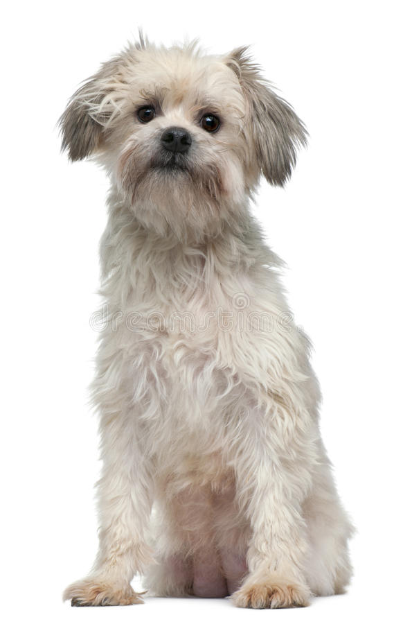 Free Löwchen Or Petit Chien Lion, 3 Years Old Royalty Free Stock Images - 18990339