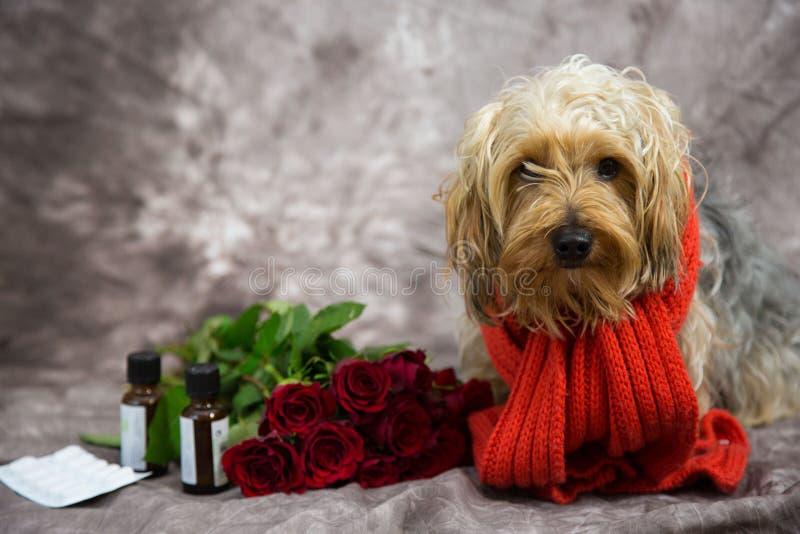 L'Yorkshire terrier desidera una pronta ripresa immagine stock