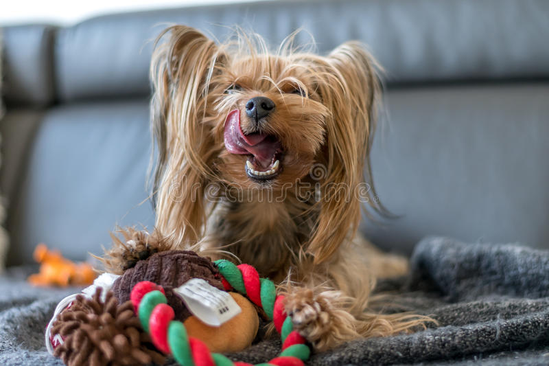 L'Yorkshire terrier sta giocando con un giocattolo sul letto immagini stock