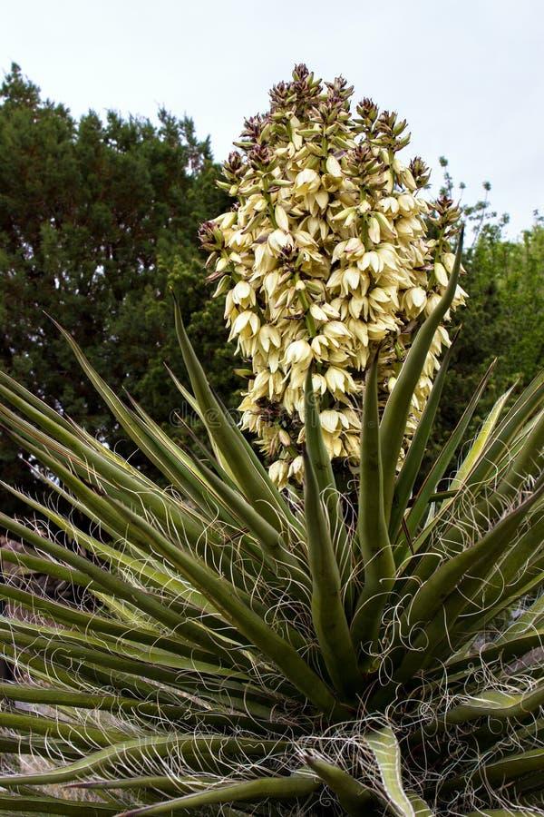 L'yucca della banana si sviluppa nelle parti del deserto di montagne che dell'organo il deserto alza il monumento verticalmente n fotografia stock libera da diritti