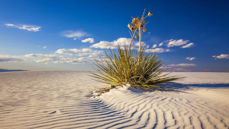 L'yucca sulla duna di sabbia a bianco insabbia il monumento nazionale - tempo fotografie stock libere da diritti