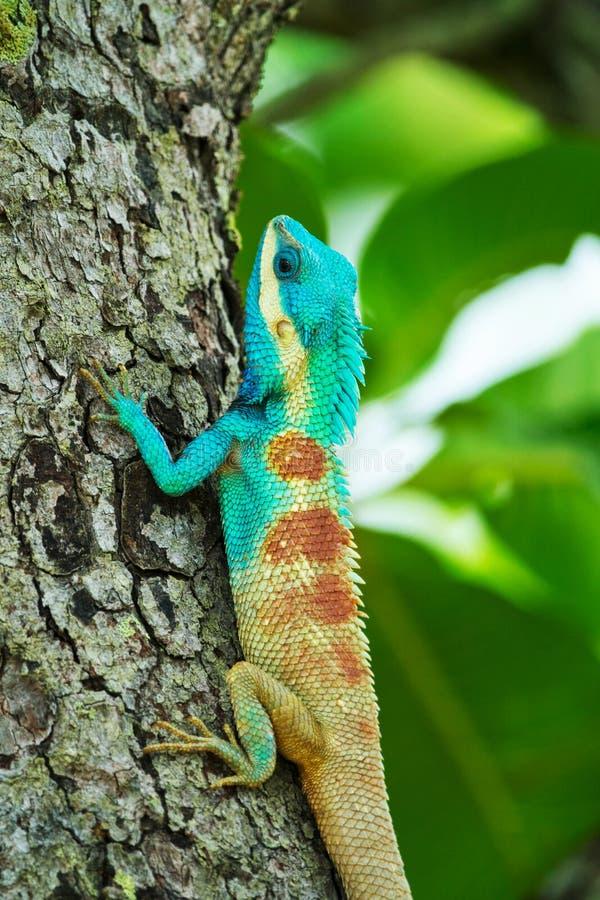 L?zard bleu sur un arbre ; Calotes Mystaceus photo libre de droits