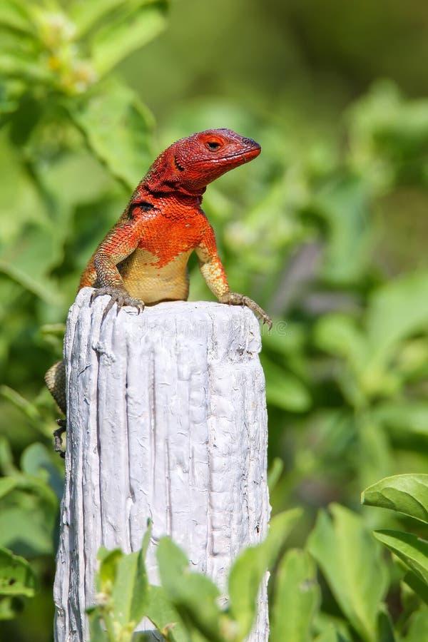 L?zard femelle de lave de capot parc national sur d'Espanola ?le, Galapagos, Equateur photographie stock