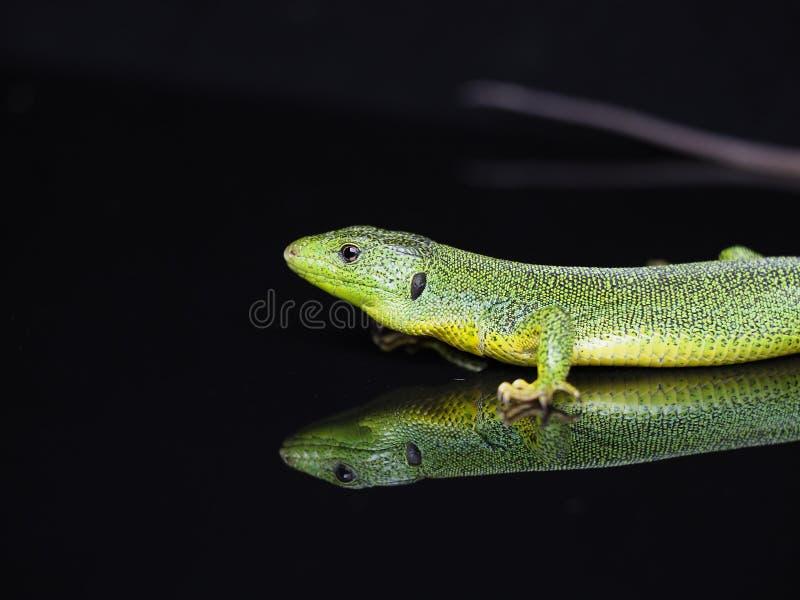 L?zard vert balkanique, trilineata de Lacerta photo stock