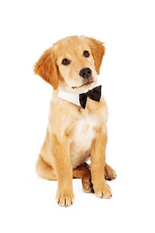 Laço vestindo do cachorrinho do golden retriever fotos de stock royalty free