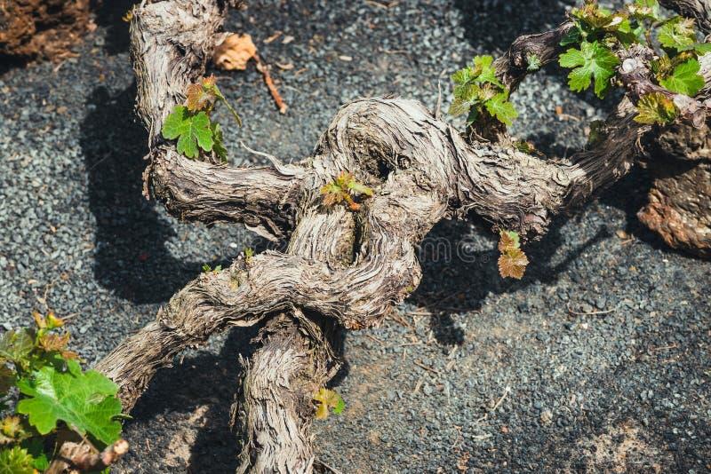 La杰里亚著名葡萄园在火山的土壤,兰萨罗特岛的 库存照片