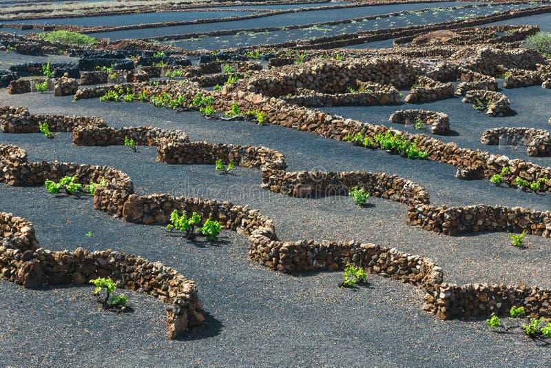 La杰里亚,兰萨罗特岛海岛,西班牙葡萄园  库存照片