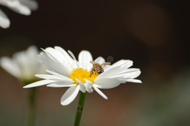 La abeja imagen de archivo libre de regalías