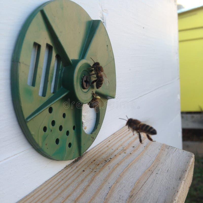 La abeja coa alas vuela lentamente a la colmena para recoger el néctar para la miel en el colmenar privado de la flor imagen de archivo