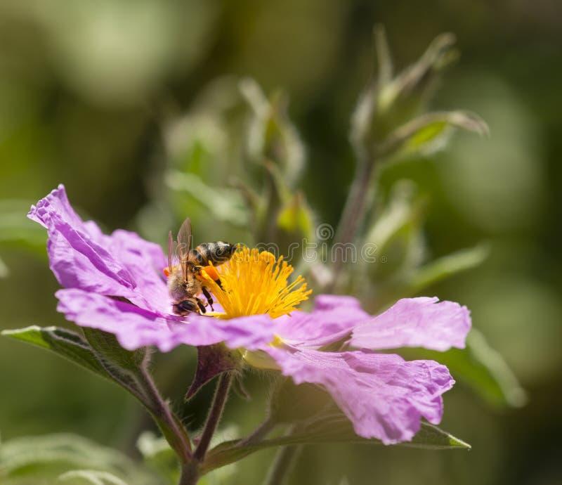 La abeja con polen despide chupar el néctar de una flor rosada imagenes de archivo