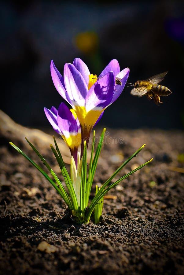 la abeja de la miel recoge el néctar de la flor   imágenes de archivo libres de regalías