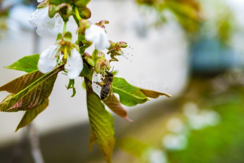 La abeja de trabajo recoge la miel en las flores de la primavera fotografía de archivo