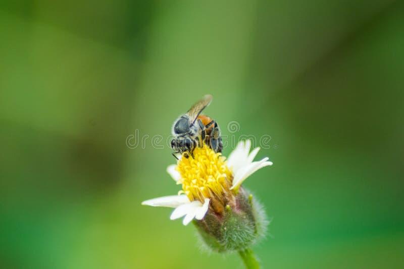 La abeja en la flor de la hierba imagen de archivo