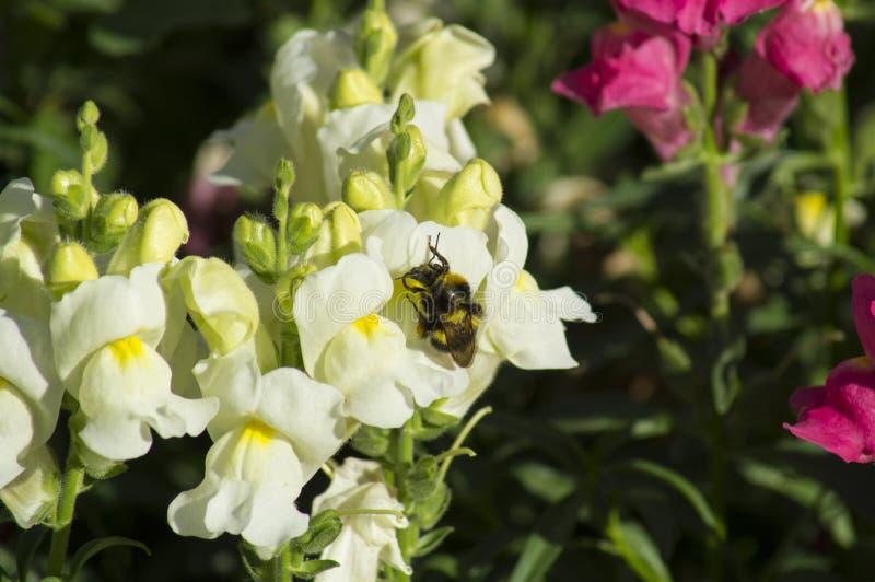 La abeja en un día de verano soleado recoge el polen de las flores fotos de archivo libres de regalías
