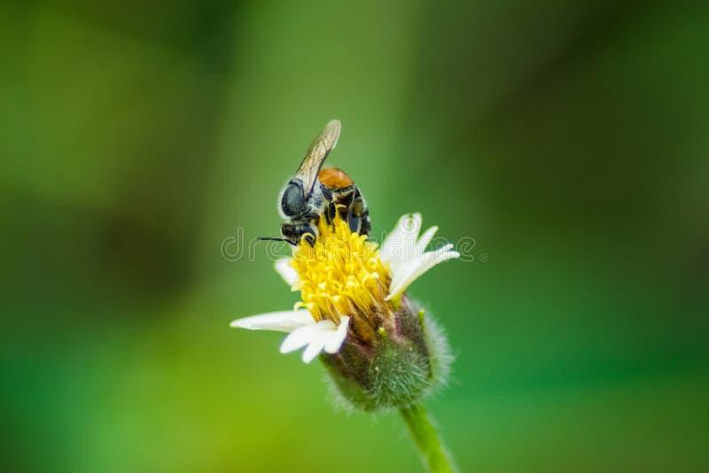 La abeja en una flor amarilla de la hierba foto de archivo libre de regalías