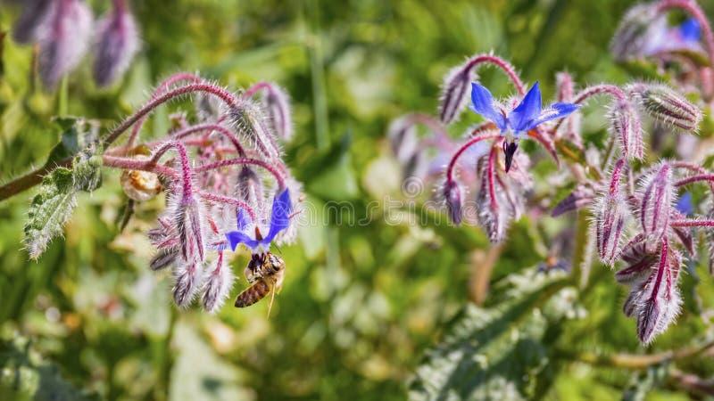 La abeja es flor de la borraja imagen de archivo libre de regalías