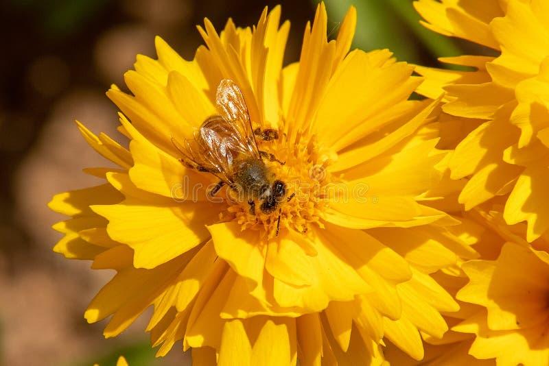 La abeja es que se sienta y de trabajo en la flor imagenes de archivo