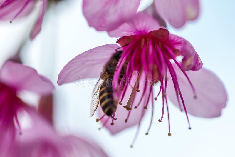 La abeja está chupando el néctar de la flor Los cerasoides del Prunus son rosados hermoso en naturaleza imágenes de archivo libres de regalías