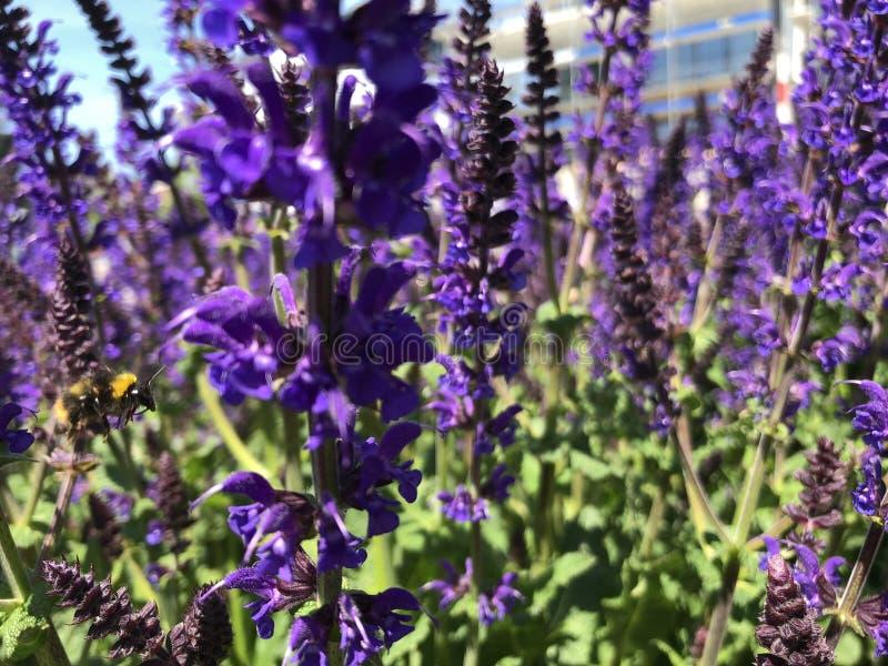 La abeja está volando a las flores fotos de archivo